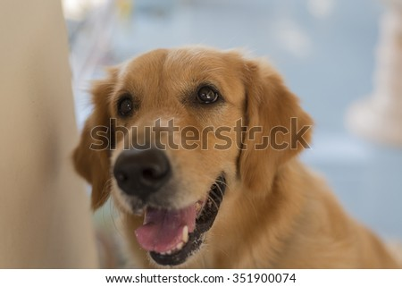 YELLOW RETRIEVER , Select Focus eye