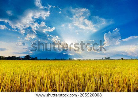 Yellow rice field and cloudscape with sunrays - stock photo