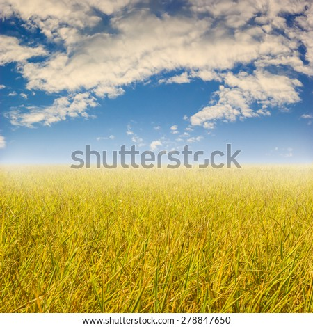 yellow rice field with sky and cloud - stock photo