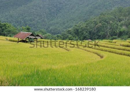 Yellow rice paddies - stock photo