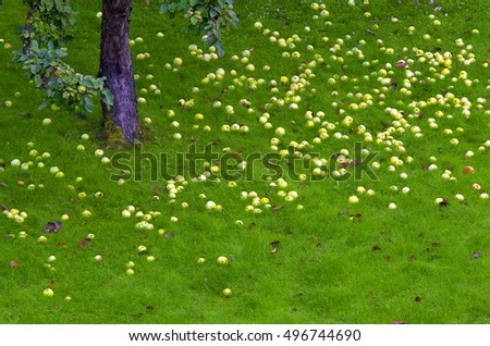 Yellow ripe summer apples on green grass.