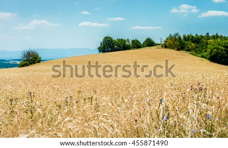 Yellow ripe wheat against blue sky - stock photo