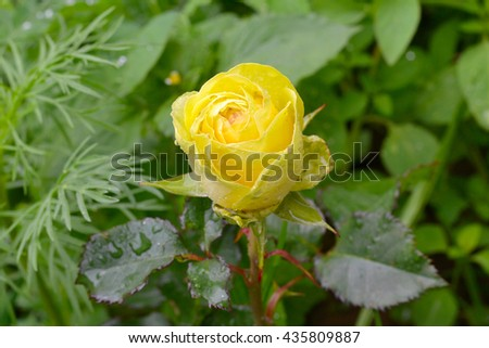 Yellow rose after rain, yellow rose with drops of rain