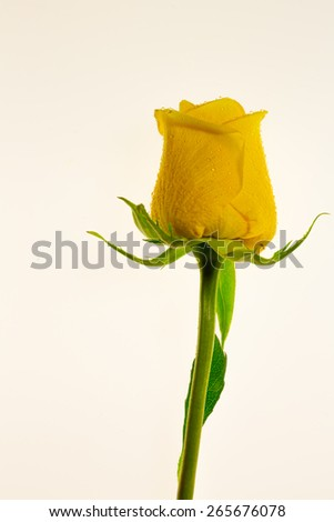 Yellow rose and stem with white background - stock photo