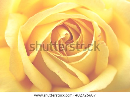 Yellow rose background with soft focus filter