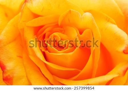 Yellow Rose close up macro. - stock photo