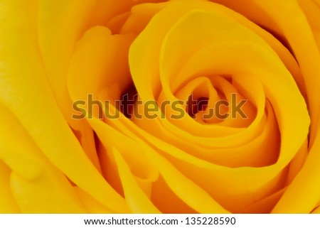 yellow rose closeup