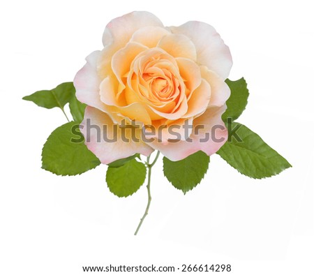 Yellow rose closeup isolated on white background - stock photo