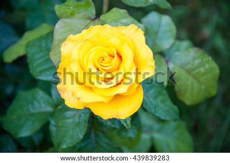 Yellow rose flower after a summer rain