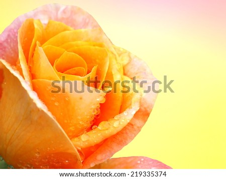 Yellow rose flower, colorful  background - stock photo