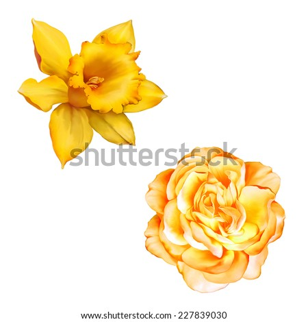 Yellow Rose Flower isolated on white background, Daffodil flower or narcissus  - stock photo