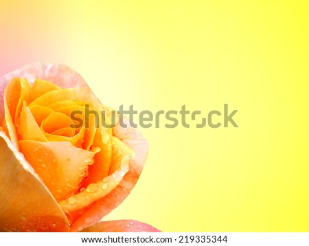 Yellow rose flower, yellow background - stock photo