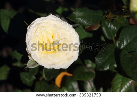 Yellow rose in dew drips early in the morning in a garden - stock photo
