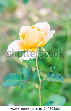 Yellow rose in the public park, Thailand. - stock photo