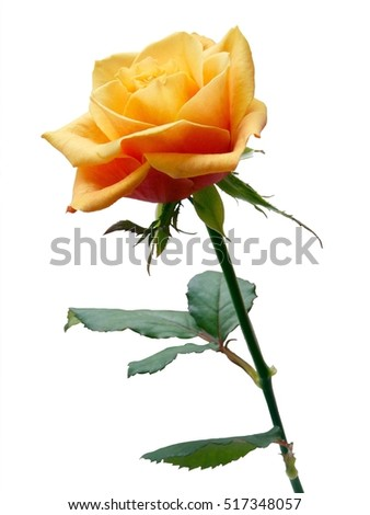 yellow rose isolated against white background