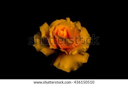 Yellow rose isolated on black background - stock photo