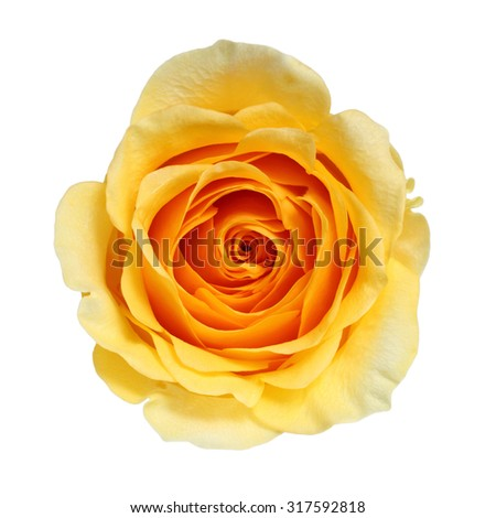Yellow Rose isolated on white - stock photo