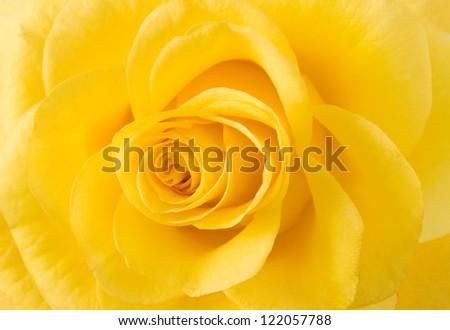 Yellow rose macro - stock photo