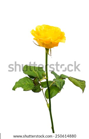 yellow rose on a white background - stock photo