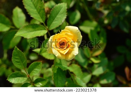 Yellow rose on center
