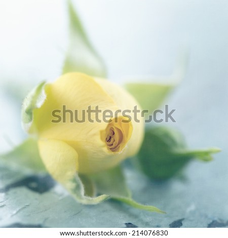 Yellow rose on light blue vintage background - stock photo