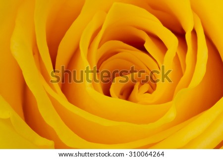 yellow rose petals close up - stock photo