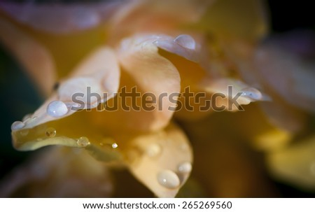 Yellow rose petals with raindrops