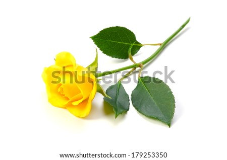 Yellow Rose-Rosa sp., This image is available for clipping work.  - stock photo