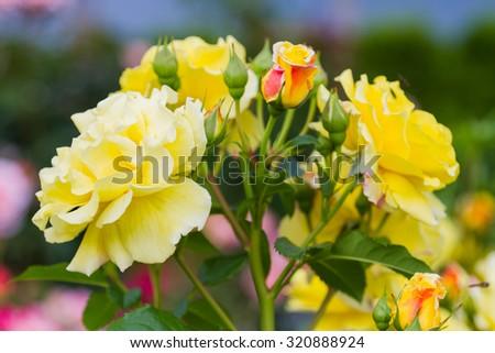Yellow roses. Candelight Edelrose Speelwark - stock photo