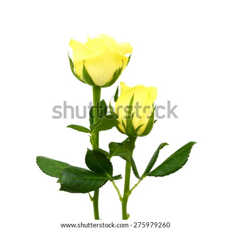 yellow roses flower isolated on white background
