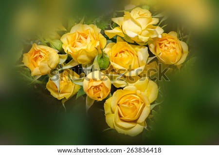 Yellow roses flowers close up, isolated, floral background - stock photo