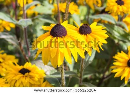 yellow rudbeckia flowers in a botanical garden - stock photo