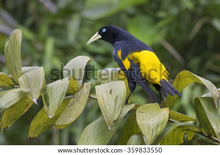 Yellow-rumped cacique (Cacicus cela), Pacaya Samiria National Reserve, Yanayacu River, Amazon area, Peru - stock photo