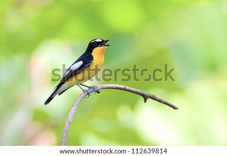 Yellow-rumped Flycatcher (Ficedula zanthopygia) - stock photo