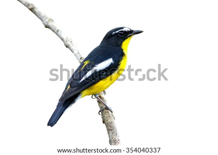 Yellow-rumped Flycatcher Male isolated White Background