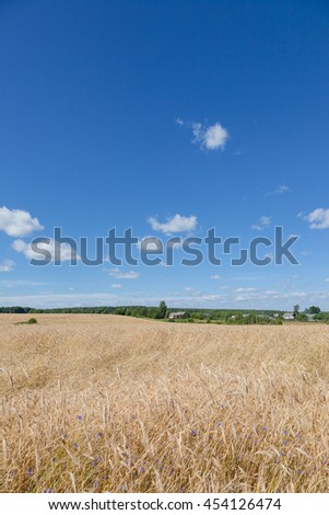 Yellow rye field and forest green and blue sky - stock photo
