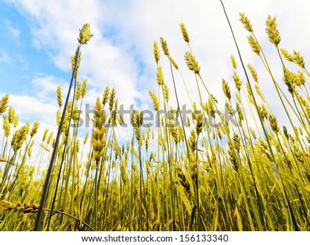 Yellow rye field. Close-up view. - stock photo