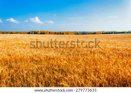 Yellow rye field on a background of autumn forest