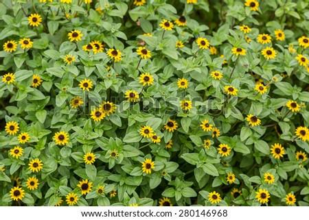 Yellow Sanvitalia procumbens in the home garden. - stock photo
