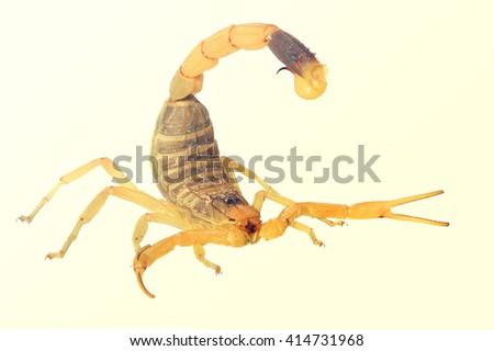 Yellow scorpion or Deathstalker (Leiurus quinquestriatus). Toned colors vintage image - stock photo