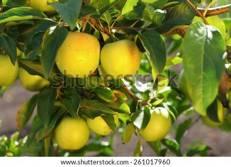 Yellow scythian gold apples on apple tree branch - stock photo