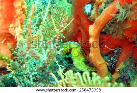 yellow seahorse, Hippocampus kuda - scuba diving at the coral reef in Thailand - stock photo