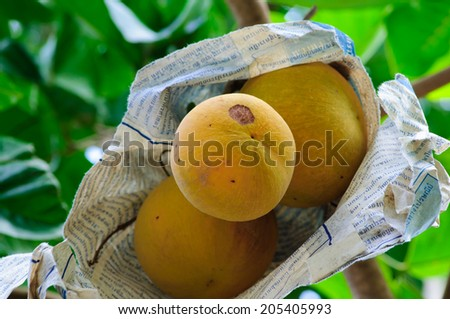 yellow sentol fruit was wrapped with reused paper to protect insects