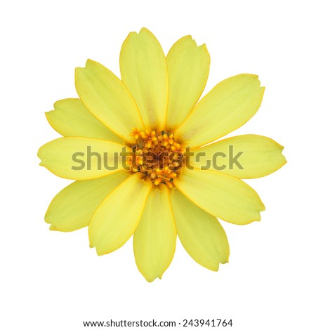 Yellow Singapore Daisy Wildflower Flower Isolated on White Background. - stock photo