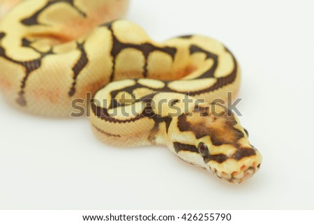 yellow snake. white snake. head of snake. python snake. baby python snake . snake on white back ground. Purple Albino Ball Python on white background. - stock photo