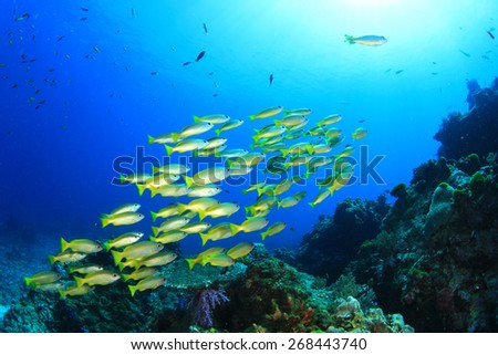 Yellow Snapper fish