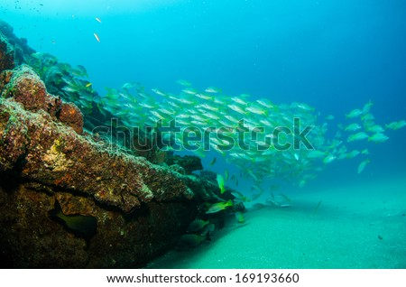 Yellow snapper (Lutjanus argentiventris), forming a school in a shipwreck, reefs of Sea of Cortez, Pacific ocean. Cabo Pulmo, Baja California Sur, Mexico. Cousteau named it The world's aquarium.  - stock photo