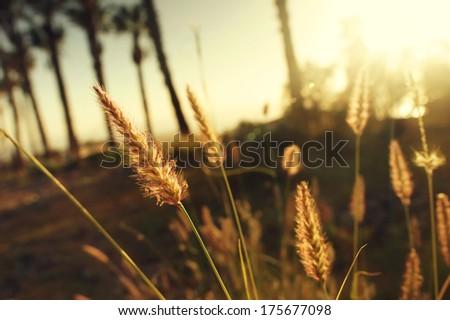 yellow spica under summer sunset soft light. Shallow depth of field - stock photo
