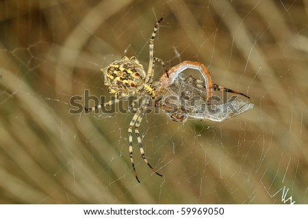 yellow spider eating a dragonfly