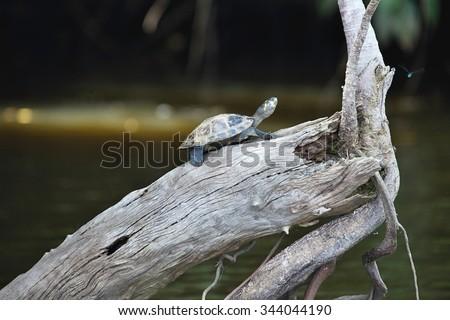 yellow-spotted Amazon river turtle, Podocnemis unifilis Lake Sandoval, Amazonia, Peru - stock photo